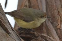 Buff- Rumped Thornbill - Berringa Sanctuary