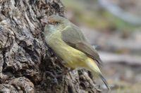 Buff-rumped Thornbill - Berringa Sanctuary
