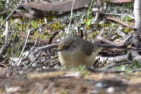 Buffed rumped Thornbill - Berringa Sanctuary