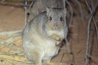 Burrowing Bettong - Scotia A.W.C