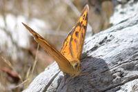 Butterfly - Berringa Sanctuary