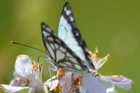 Caper White Butterfly - The Block Sanctuary Berringa