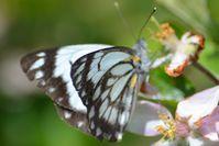 Caper White Butterfly - The Block Sanctuary Berringa