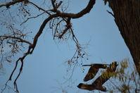 Carnaby Black Cockatoo - Paruna A.W.C   W.A