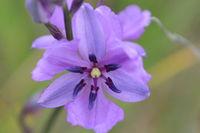 Chocolate Lillies - Berringa Sanctuary