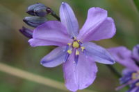 Chocolate Lily - Berringa Sanctuary