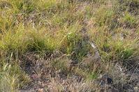Common Brown - Berringa Sanctuary