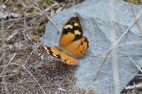 Common Brown Butterfly - Beringga Sanctuary