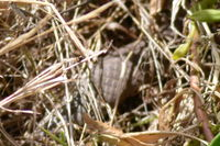 Common Brown Sneaking through the grass - Berringa Sanctuary