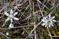 Common Early Nancy - Berringa Sanctaury