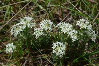 Common  Rice Flower - Berringa Sanctuary