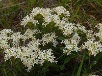 Common Rice Flower - The Block Berringa