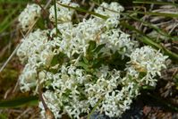 Common Rice Flower - The Block Sanctuary Berringa