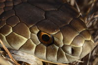 Copperhead - Berringa Sanctuary