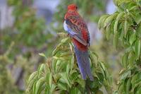 Crimson Rosella - Berringa Sanctuary