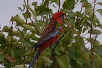 Crimson Rosella - Berringa Sanctuary