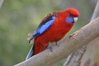 Crimson Rosella - The Block Berringa