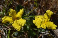 Cut-Leaf Goodenia - Berringa Sanctuary