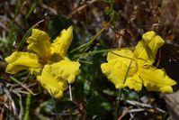 Cut-Leaf Goodenia - Berringa Sanctuary