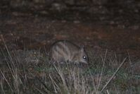 Eastern Barred Bandicoot - Mt Rothwell