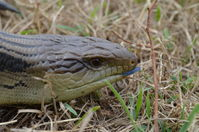 Eastern Blue Tongue lizard - Berringa Sanctuary