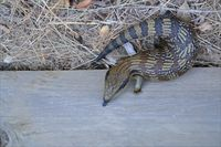 Eastern Blue-Tongue Lizard The Block Berringa.