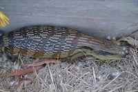Eastern Blue-Tongue Lizard The Block Berringa.