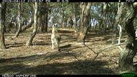 Eastern Grey Kangaroo - Berring Sanctuary