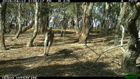 Eastern Grey Kangaroo - Berring Sanctuary