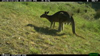 Eastern Grey Kangaroo - Berringa Sanctuary