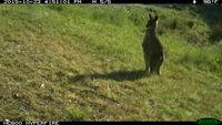Eastern Grey Kangaroo - Berringa Sanctuary