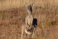 Eastern Grey Kangaroo and joey - Berring Sanctuary