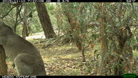 Eastern Grey Kangaroo fighting a tree - Berringa Sanctuary