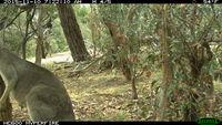 Eastern Grey Kangaroo fighting a tree - Berringa Sanctuary