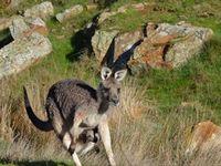 Eastern Grey Kangaroo- The Block Berringa