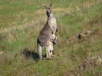 Eastern Grey Kangaroo- The Block Berringa
