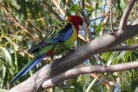 Eastern Rosella - The Block Berringa