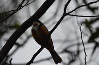 Eastern Spinebill - Berringa Sanctuary