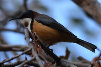 Eastern Spinebill - Berringa Sanctuary