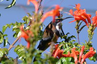 Eastern Spinebill - The Block Berringa