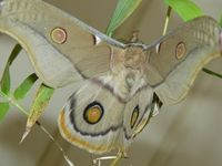 Emperor Gum Moth - Berringa Sanctuary
