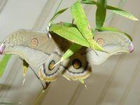 Emperor Gum Moth - Berringa Sanctuary
