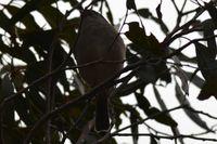 Female Golden Whistler - Berringa Sanctuary