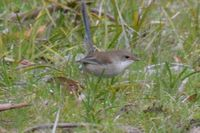 Female Superb Fairy Wren - Berringa