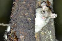 Feral Rat - The Block Berringa