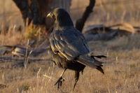 Forest Raven - Berringa Sanctuary