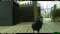 Forest Raven collecting nesting material - Berringa Sanctuary