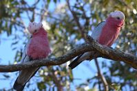 Galahs - The Block Berringa