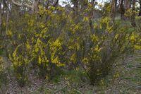 Gold Dust Wattle - The Block Sanctuary Berringa