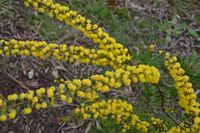 Gold Dust Wattle - The Block Sanctuary Berringa
